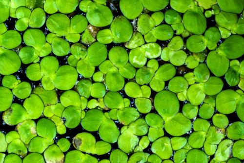 Water Lentils